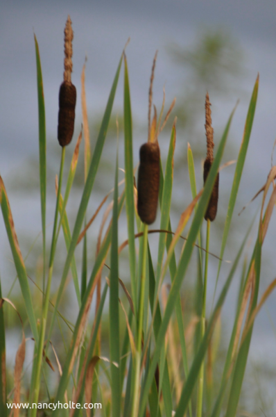 Cattails in the Chanel.