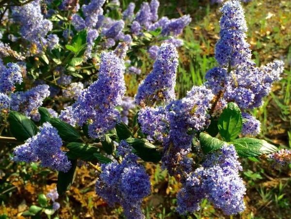 Mount Hermon Lilacs